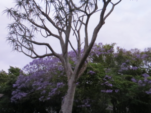 Another jacaranda. Can you tell I like flowers?