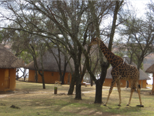 Plus there are giraffes! Not in the city, to be fair...