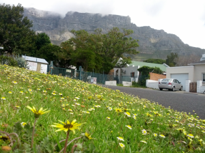 Spring in the Mother City. Daisies & that rock