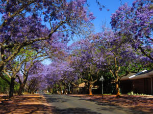 It was also jacaranda season