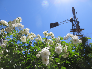 I also love roses, windmills, and bright blue skies