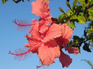 I've always loved hibiscus