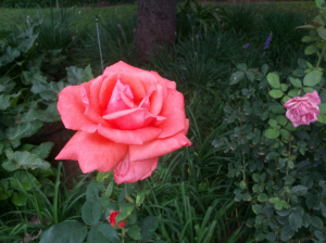 Just another perfect rose