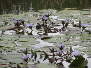 Water lilies of Pretoria
