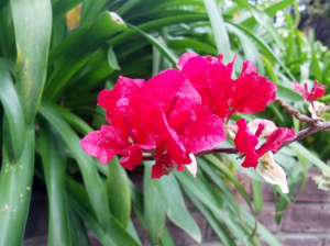 Bougainvillea - one of my favourites. To have a garden with walls of these & the smell of jasmine at night ... heaven
