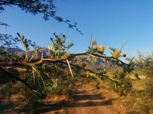Acacias. I love them!